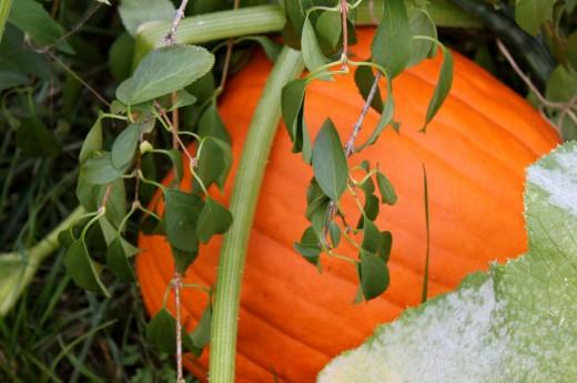 crab-feast-pumpkins-some-sweet-gelato10