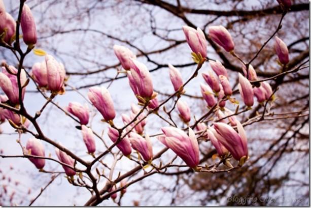cherry_blossom11s