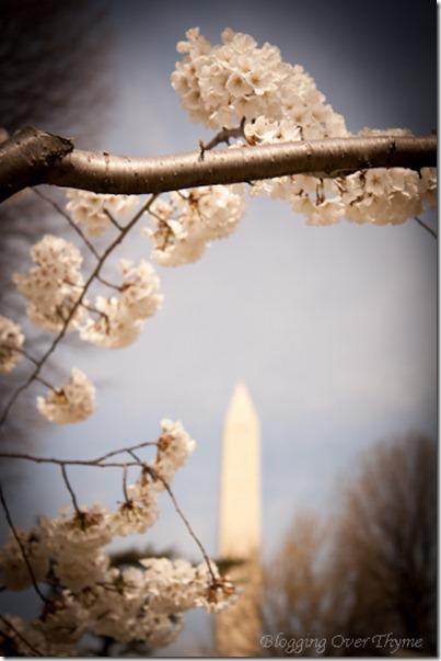 cherry_blossoms7