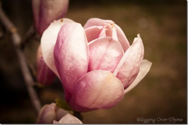 cherry_blossoms9