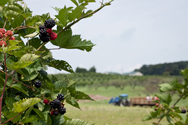 Rock Hill Orchard + Blackberry Picking >> Blogging Over Thyme