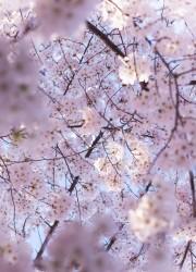 Cherry Blossoms | bloggingoverthyme.com