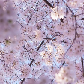Cherry Blossoms | bloggingoverthyme.com