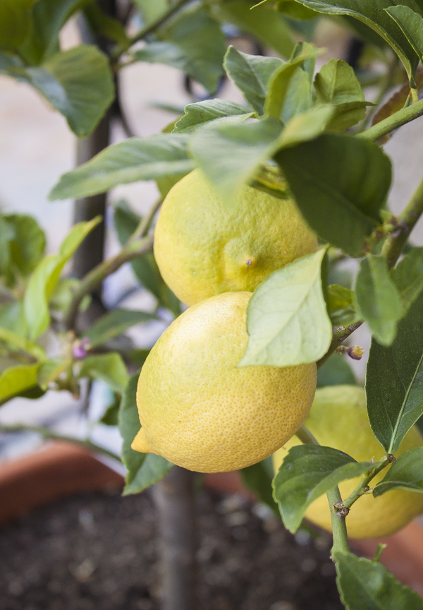 Lemon Tree | bloggingoverthyme.com