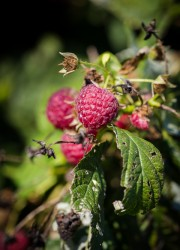 Raspberry Picking at Butler's Orchard | @blogoverthyme