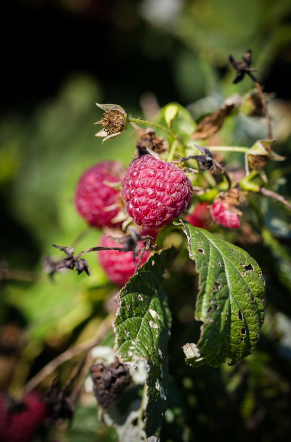 Raspberry Picking at Butler's Orchard