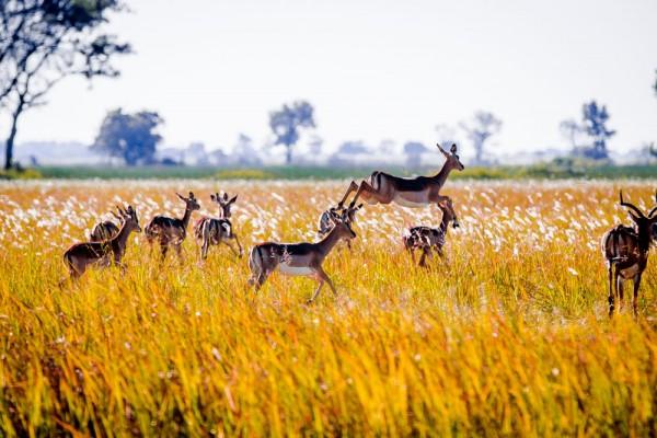 Impala - The Okavango Delta, Botswana