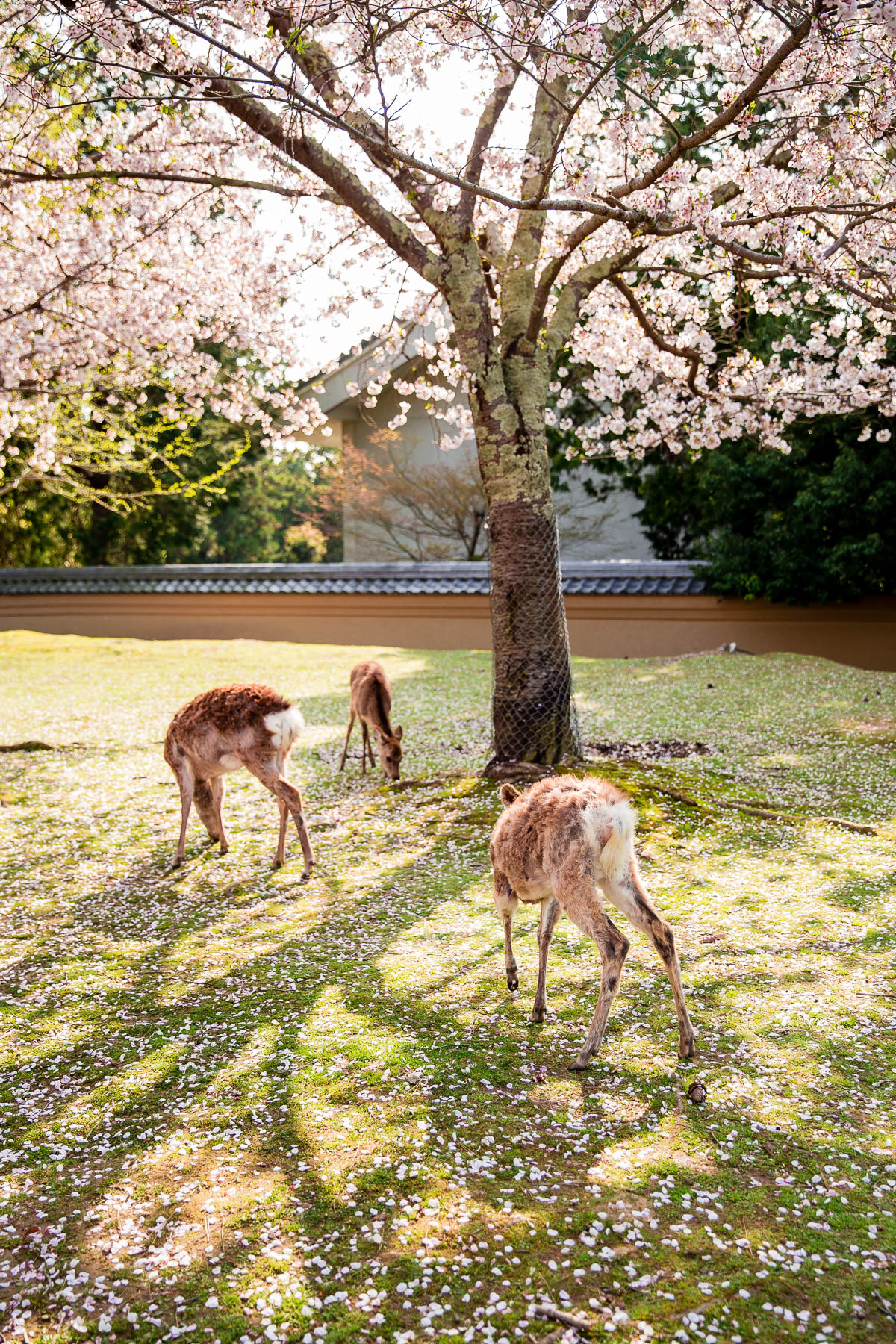Deer and Cherry Blossom Trees