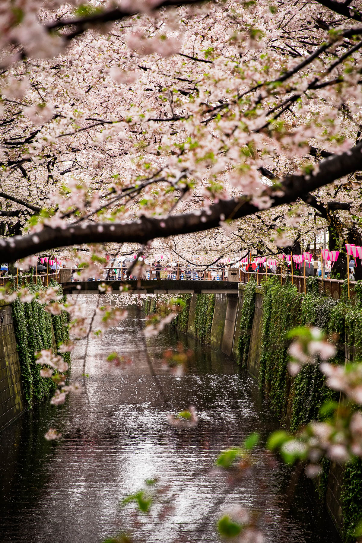 Nakameguro Canal Cherry Blossoms