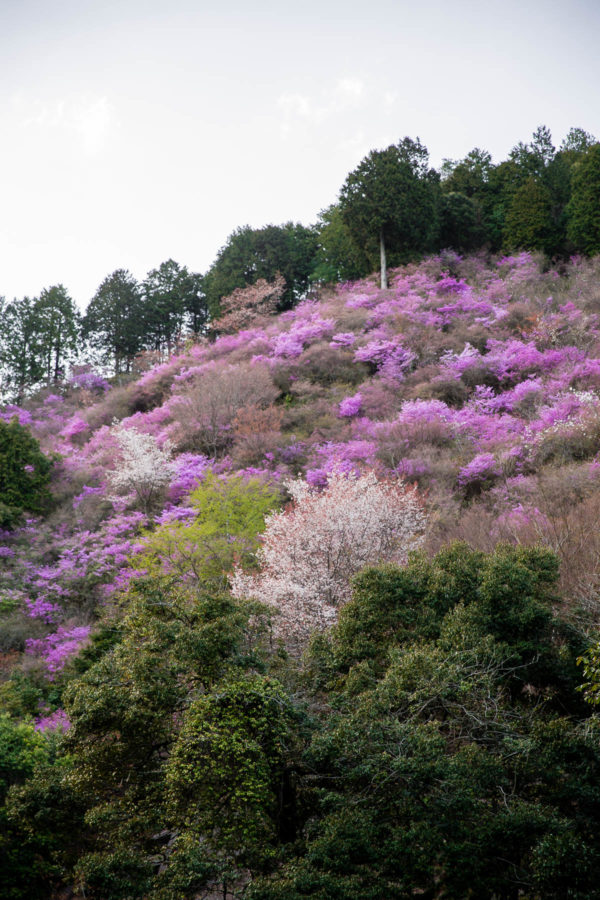 Cherry Blossom Mountain