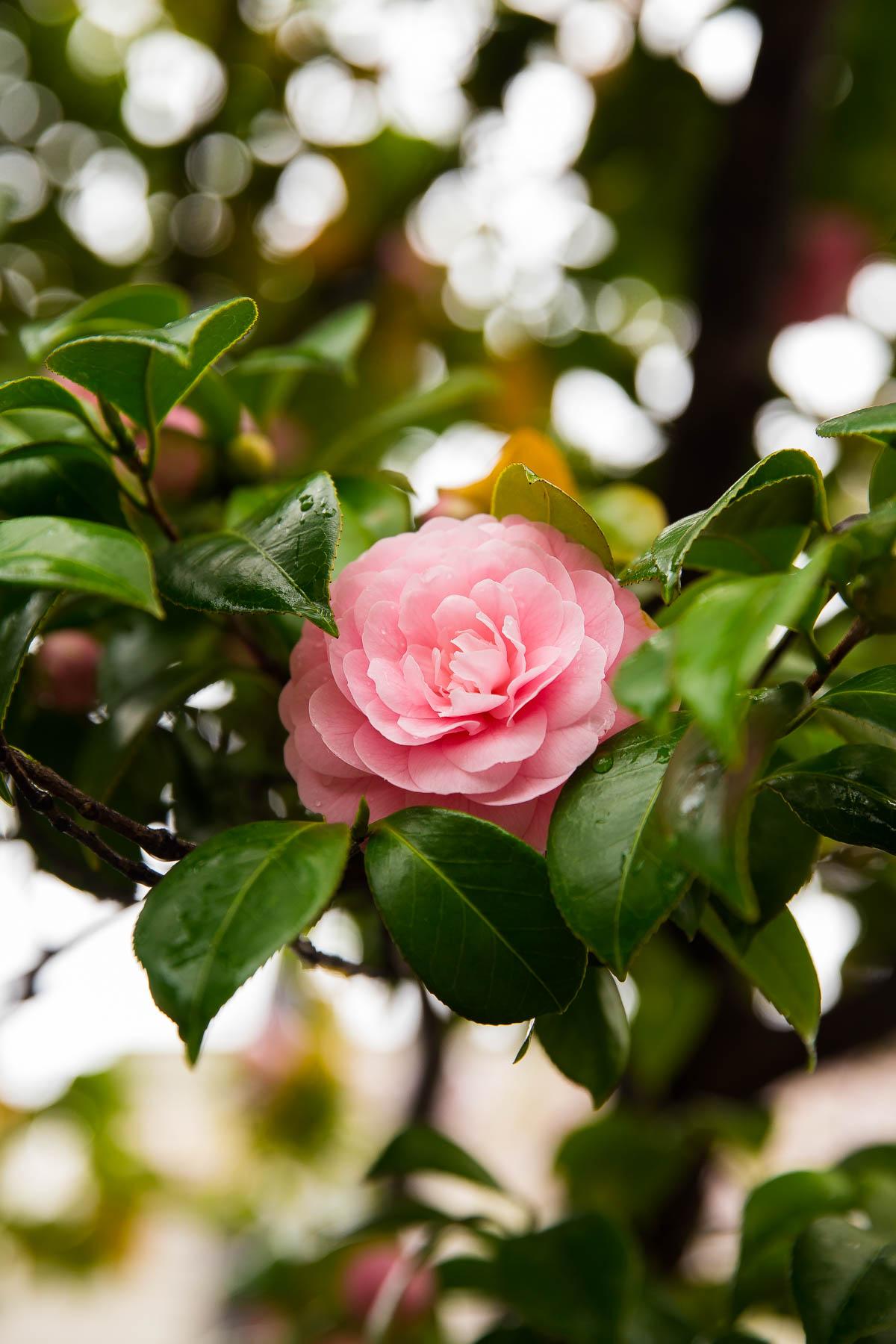 Japanese Camellias