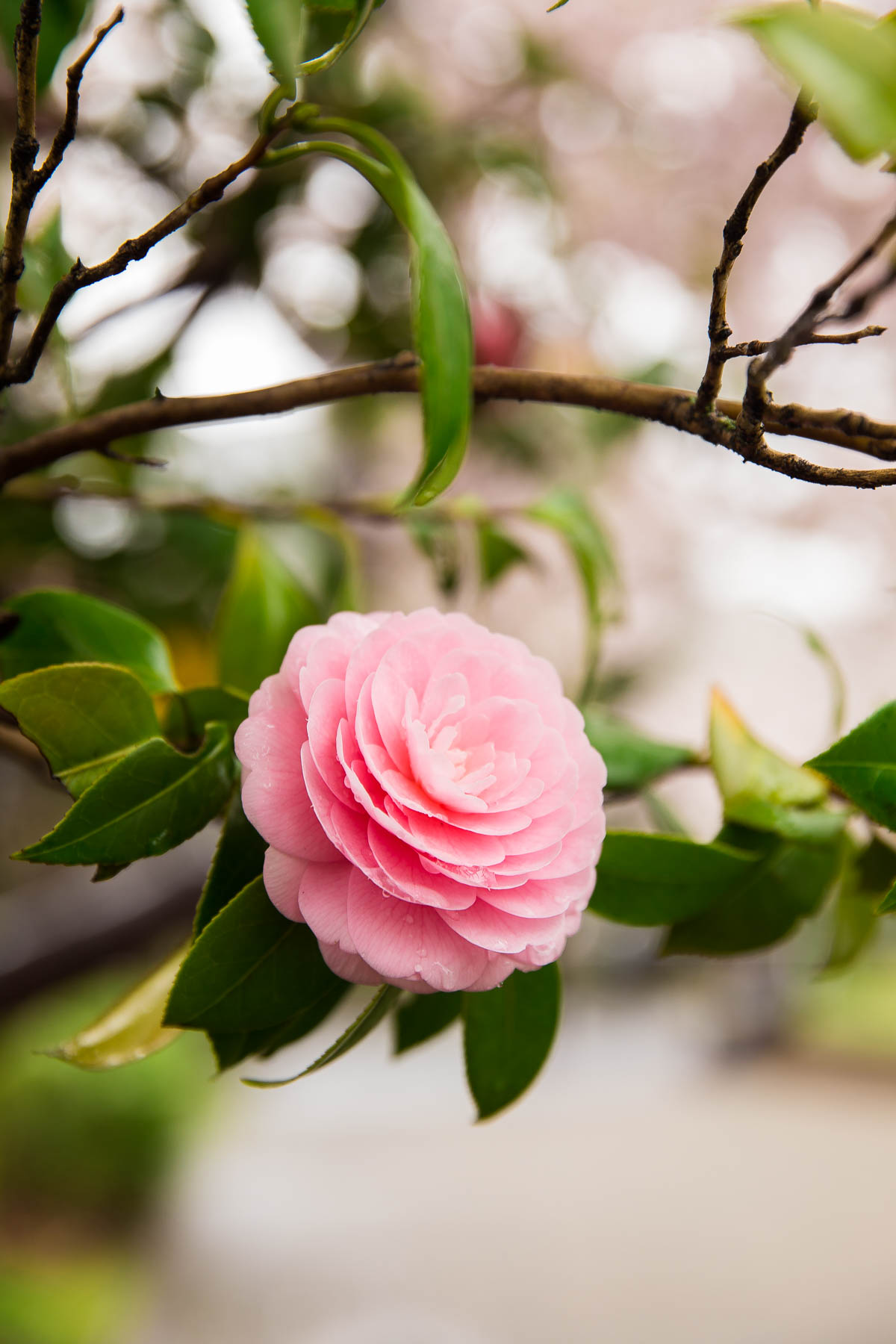 Japanese Camellias