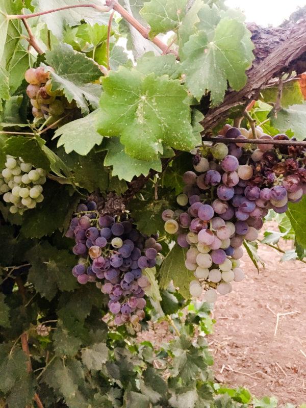 Rancho La Puerta Vineyard