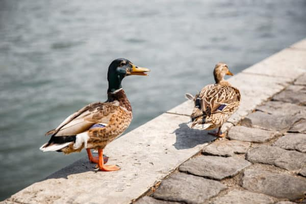 Ducks in Paris