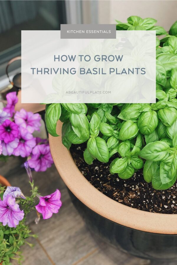 How to Grow Basil