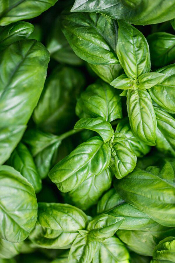 How to Grow Basil (How to Grow Basil in a Pot) - A Beautiful