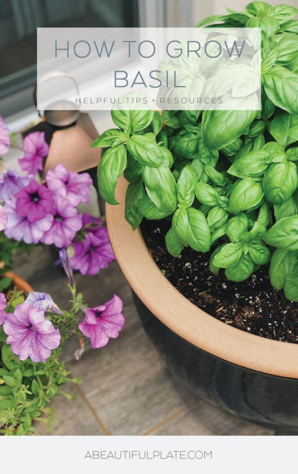 Fresh Basil in Pot