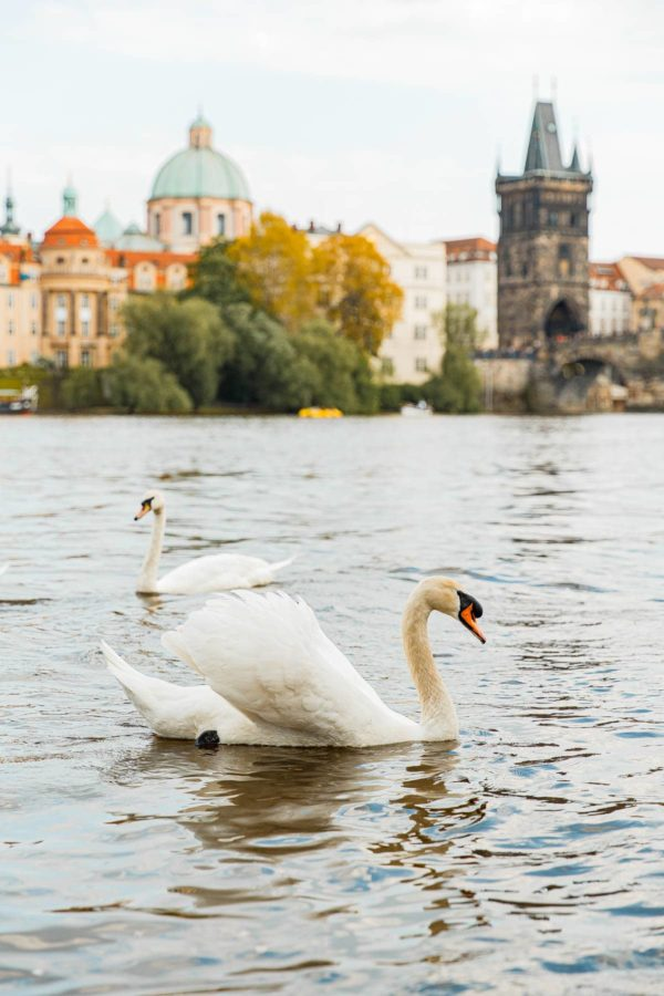 Swans on Vltava River Prague